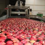 The Condition Of Apple Production Sector In Karaman
